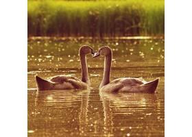 池塘边美丽的天鹅幼崽以野生动物为背景的_124306801