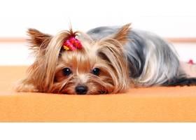 漂亮可爱的约克梗犬_645188701