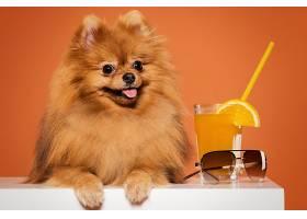 带果汁的可爱Spitz_625517401