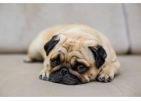 哈巴狗在天然镶木地板上休息疲惫的拖把狗_1104386301