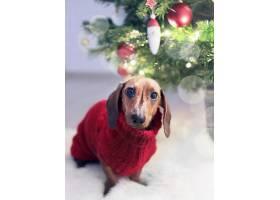 圣诞树附近一只穿着节日服装的长耳腊肠犬的_1265132801
