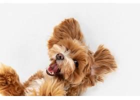 在逃亡中马尔提普小狗正在摆姿势_1145400301