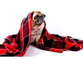 盖着红黑毛毯的可爱小狗_598438901