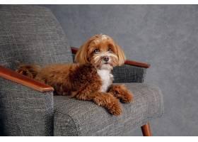 真诚的朋友马尔提普小狗正在摆姿势_1145401301
