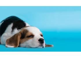 蓝色背景上睡着的比格犬小狗_559803501
