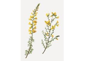 复杂马蹄草花Cytisus Complicatus Flowers_40421700101