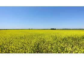 美丽的春天风景一片鲜艳的黄色油菜花_1265134501