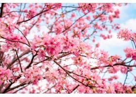 美丽的樱花树在蓝色多云的天空映衬下盛开_1232802801