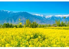 芥菜田美丽的白雪覆盖的山脉景观印度克_125459301