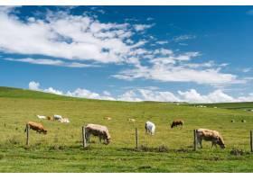 法国白天蓝色多云天空下草地上奶牛的特写镜_802426001