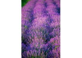 摩尔多瓦的田野上生长着多种紫色花朵的薰衣_1117557801