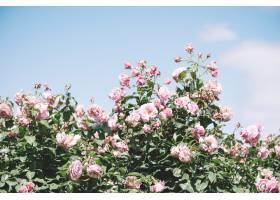 夏天盛开的粉色玫瑰_113732001