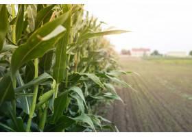 夕阳西下的玉米地_1113396301