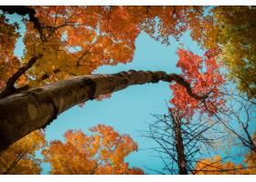 低角拍摄的树木在秋天的阳光和蓝天下覆盖着_1306082001