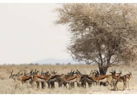 一群瞪羚在稀树大草原的一棵干树下休息_965451101