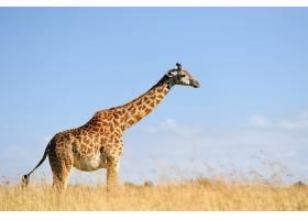 非洲大草原上的长颈鹿_11011883