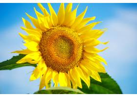 明亮的黄色向日葵衬托着蓝天和云彩_9603813