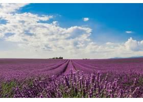 多云天空下一片美丽的紫色英国薰衣草花的横_10376220