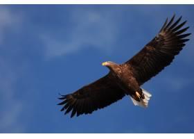 在日本北海道一只白尾鹰在阳光和蓝天下飞_11696384