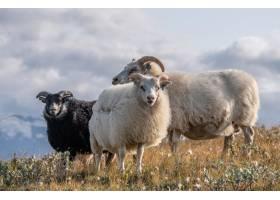 三只美丽的冰岛绵羊在多云天空下的荒野中的_9282786