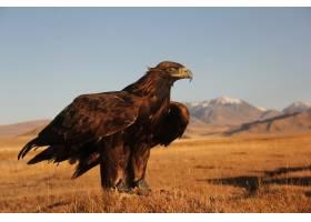 一只金鹰在群山荒凉的地方准备去飞翔_12177135