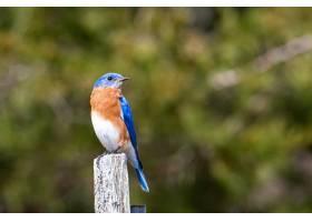 蓝色棕色和白色的鸟坐在一块漆过的木头上_1097865201