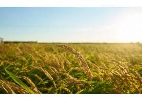 日落时分绿色的大稻田里种着一排排绿色的_1290968801