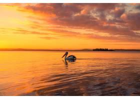 日落时分鹈鹕在金色多云的天空下的湖中游_1204549501