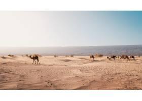 白天在摩洛哥拍摄的沙漠中骆驼的美丽景色_918511401