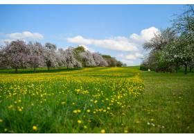 樱花树附近绿地上开满黄色花朵的美丽镜头_1150562701