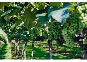 在模糊的阳光下葡萄园里的绿色葡萄的特写_875556601