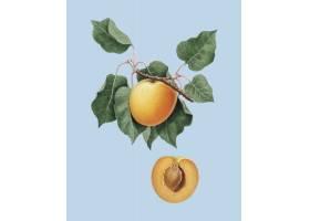 德国波莫纳意大利杏树插图_3226285