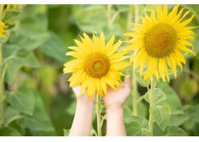 阳光灿烂的向日葵画在女性手中植物生长在_13013421