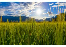 阳光照耀着一片美丽的绿色田野高高的草丛_11206568