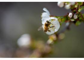 一只蜜蜂在一朵白色樱花上授粉的特写镜头_7814514