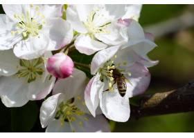 一只蜜蜂在阳光明媚的日子里从一朵白色樱花_10810024