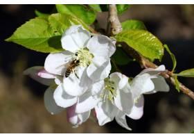 一只蜜蜂在阳光明媚的日子里从一朵白色樱花_11486742