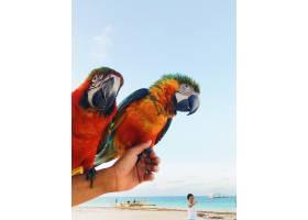 一名男子胳膊上抱着两只五颜六色的金刚鹦鹉_1275194