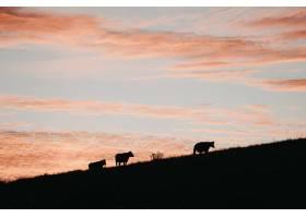 粉色天空下小山上三头牛的剪影_7957359