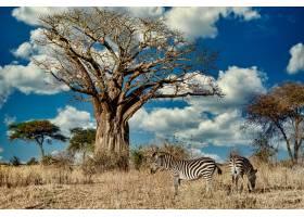 绿树成荫的田野在阳光和蓝天下被斑马包围_10637244