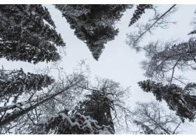 芬兰奥兰卡国家公园白雪覆盖的风景松林_11307159