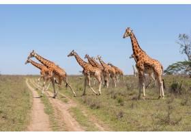 草原上的长颈鹿群_8097023