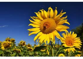 蓝天白云的田野里盛开着向日葵美丽的自然_1243074