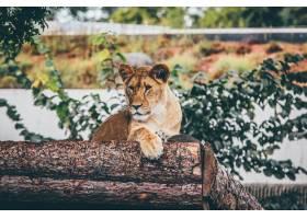 选择性对焦镜头一头母狮斜靠在模糊的树干_7810654