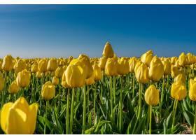 阳光下一片黄色郁金香的迷人画面_10810014