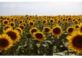水平拍摄的农田美丽的黄色向日葵生长在乡_10898109