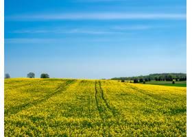 在晴朗的蓝天下小山上绽放着黄色的田野_8857641