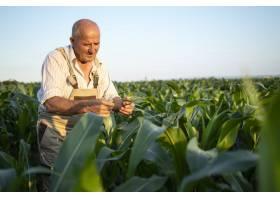 在玉米地里辛勤耕耘的资深农民农艺师在收获_11450845