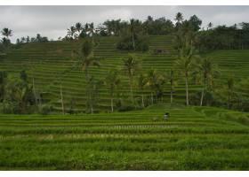 印度尼西亚巴厘岛稻田的美景_13006595