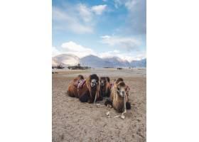 印度拉达克的骆驼等待游客_4695542